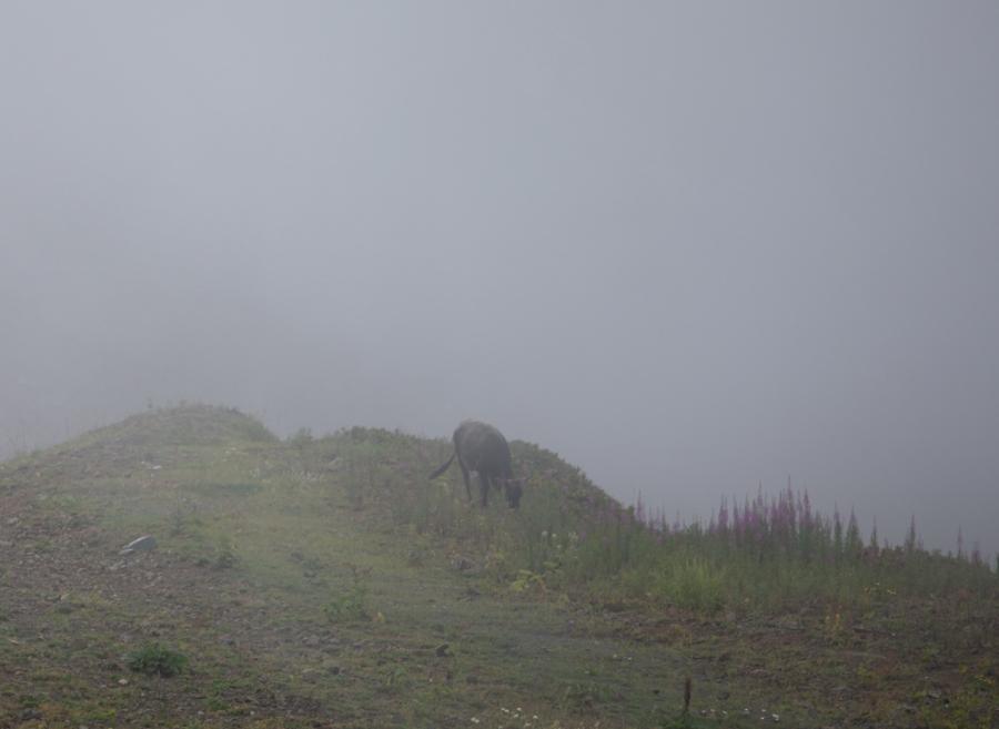 Корова потонула в тумане
