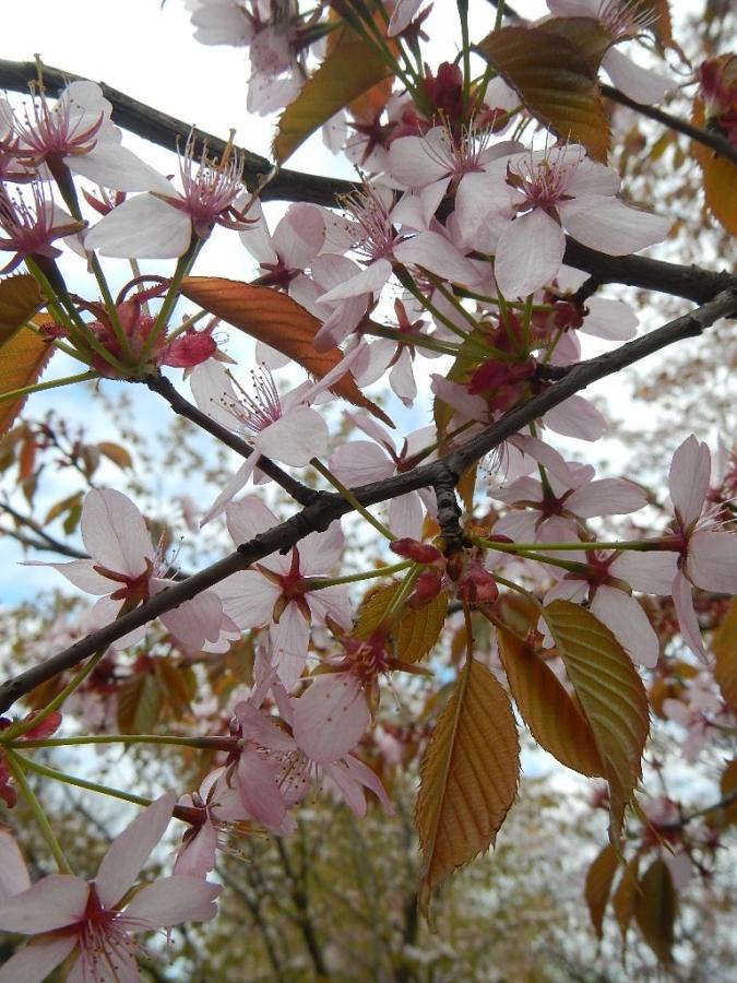 Цветение сакуры.