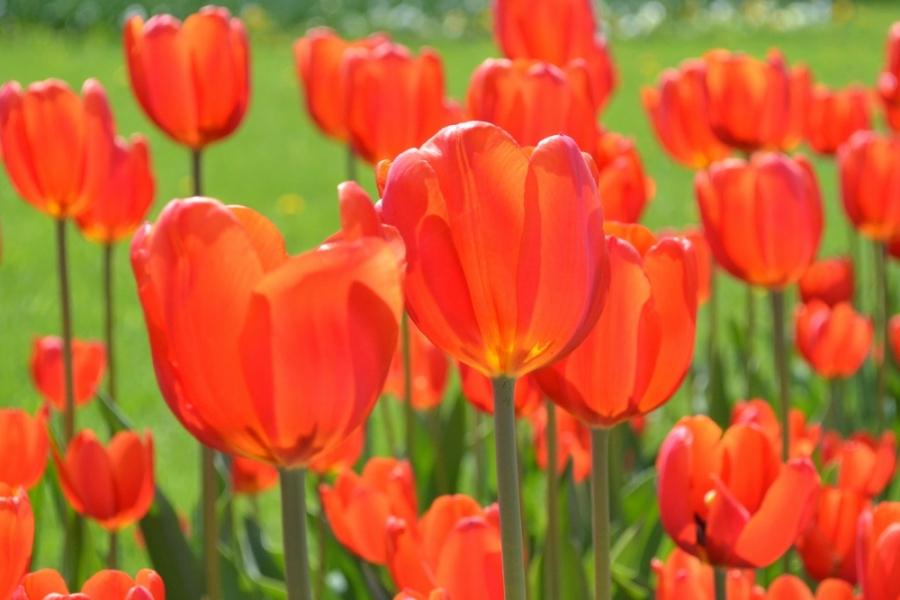 ...и еще тюльпаны