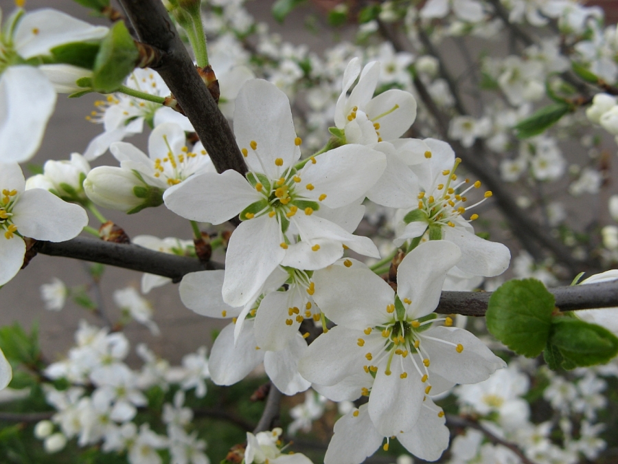 Краткий миг цветения