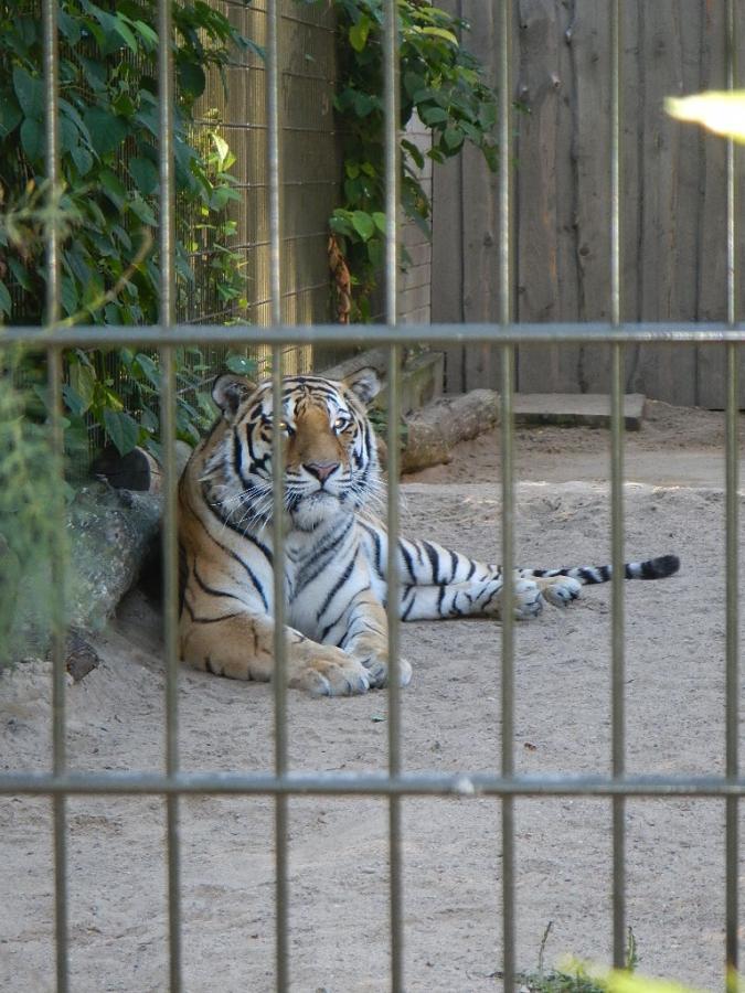 Амурский тигр. Таллинский зоопарк.