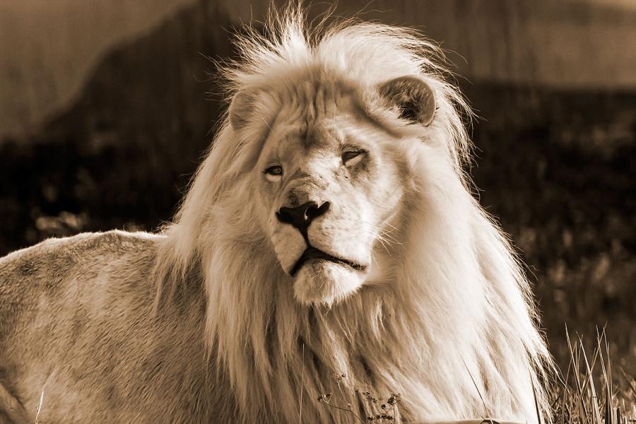 Царь зверей.