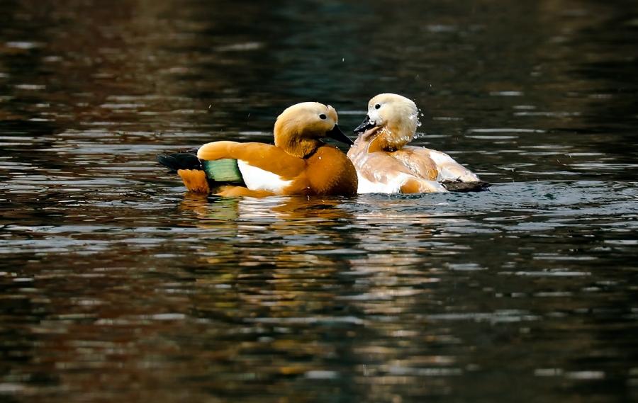 Любовь и утки.