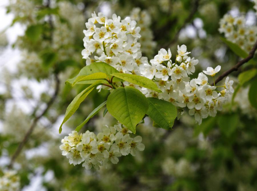У нас тоже цветет черемуха :)