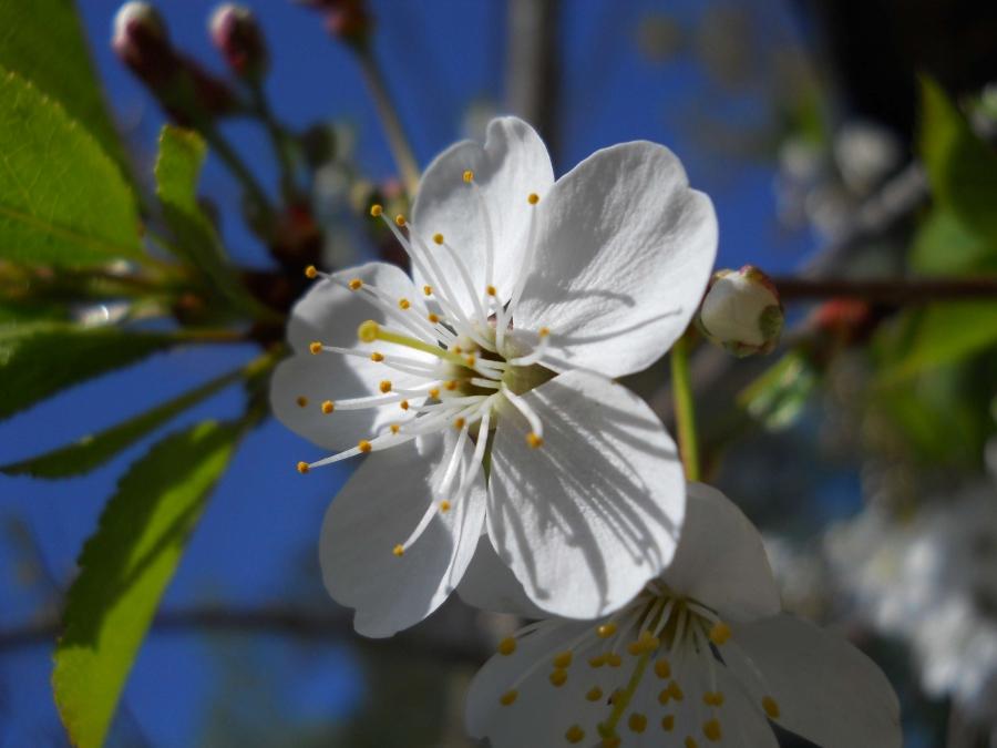 Вишенка цветет